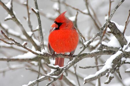 cardinal bird: Male Northern Cardinal (cardinalis cardinalis) on a branch in a snow storm Stock Photo