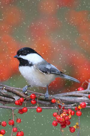 snow capped: Black-capped Chickadee (poecile atricapilla) perched on Oriental Bittersweet a light snow falling
