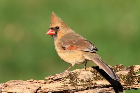 Female Northern Cardinal (Cardinalis) perched on a log with moss