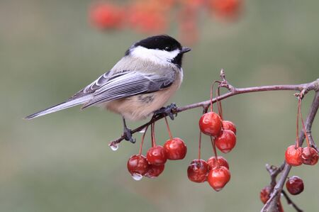 Black-capped Chickadee (poecile atricapilla) perched on Ornamental Cherries with ice Stock Photo
