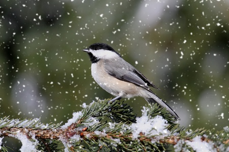 Chickadee perched on branch in a light snow fall Stock Photo