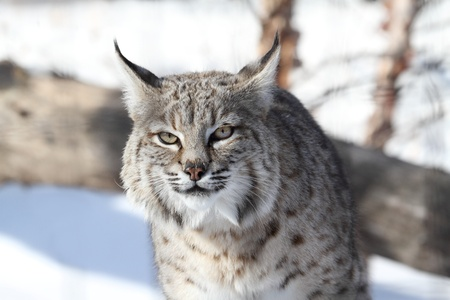 lynx: Bobcat (Lynx rufus) hunting in snow in winter