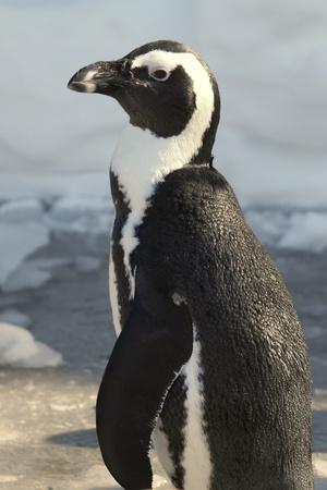 African Penguin (Spheniscus demersus) in snow and ice 版權商用圖片
