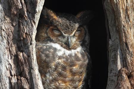 horned: Gran cornudo Owl (Bubo virginianus) durmiendo en un agujero en un �rbol