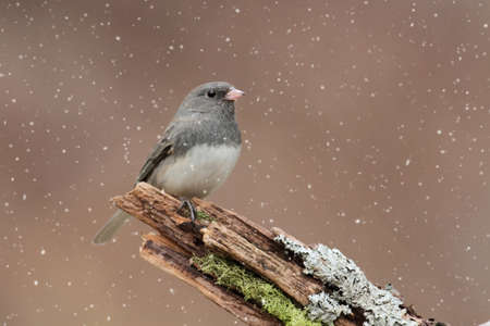 Dark-eyed Junco perched in a light snow fall