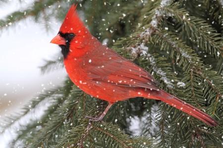 ¡rboles con pajaros: Cardenal norteño masculino (cardinalis) en caída de nieve Foto de archivo
