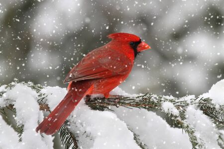 Male Northern Cardinal (cardinalis) in falling snow Stock Photo - 8574705