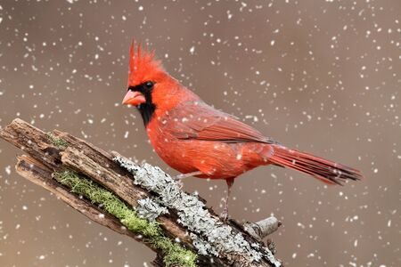 cardinal bird: Male Northern Cardinal (cardinalis) in a snow storm  Stock Photo