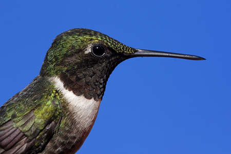 Male Ruby-throated Hummingbird (archilochus colubris) perched with a blue background Stock Photo - 8574748