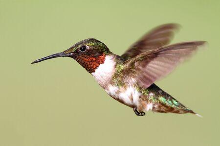 男性ルビー throated ハチドリ (アルキロコス colubris) は緑の背景と飛行中
