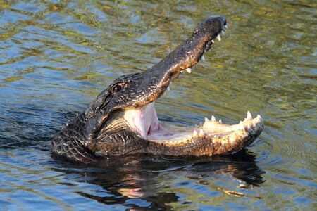 American Alligator (mississippiensis) swimming in the Florida Everglades photo
