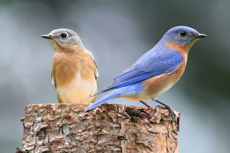 bluebird: Pair of Eastern Bluebird (Sialia sialis) on a log with nesting material