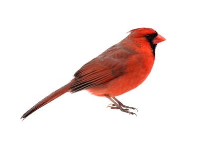 Male Northern Cardinal (Cardinalis) - Isolated on a white background Banco de Imagens