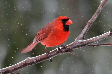 Male Northern Cardinal (cardinalis) on an ice covered branch in a light snow photo