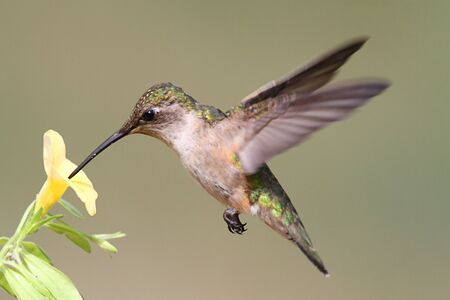 Juvenile Ruby-throated Hummingbird (archilochus colubris) in flight with a yellow flower and a green background