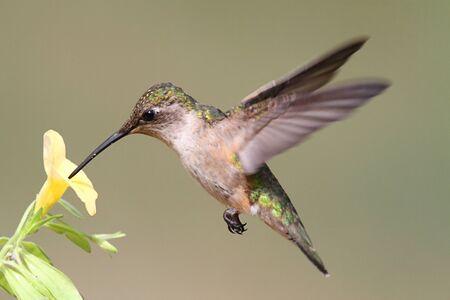 Menores Archilochus colubris (archilochus Gorgirrojo) en vuelo con una flor amarilla y un fondo verde