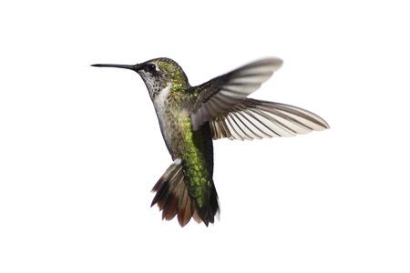 colibries: Hombres Archilochus colubris (archilochus Gorgirrojo) en vuelo aislado en un fondo blanco Foto de archivo