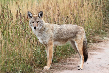 yellowstone: Western Coyote (Canis latrans) in Yellowstone National Park