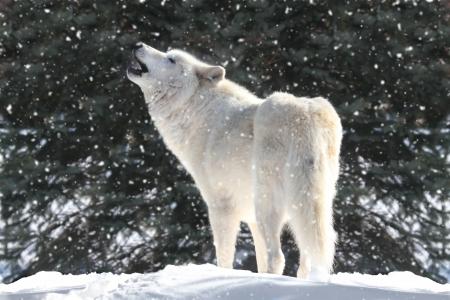 lobo feroz: Blanco madera lobo (Canis lupus) aullando en una tormenta de nieve