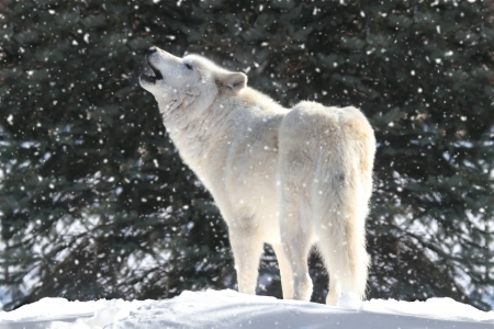 White Timber Wolf (Canis lupus) howling in a snow storm 스톡 콘텐츠