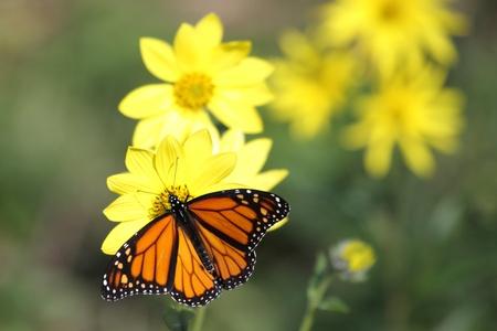 Monarch vlinder (Danaos plexippus) op Woodland zonnebloemen (Helianthus divaricatus)