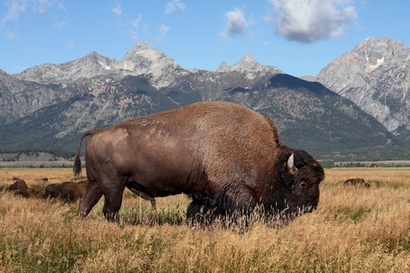 American Bison (Buffalo) in Grand Teton National Park 스톡 콘텐츠