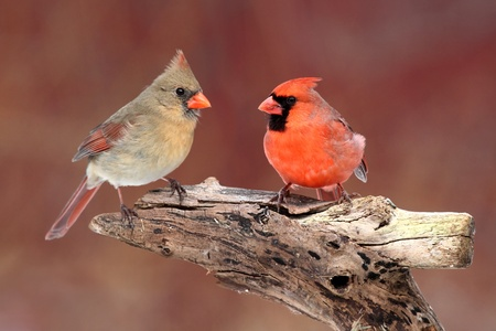 Pair of Northern Cardinals (cardinalis) on a branch with a red background 스톡 콘텐츠