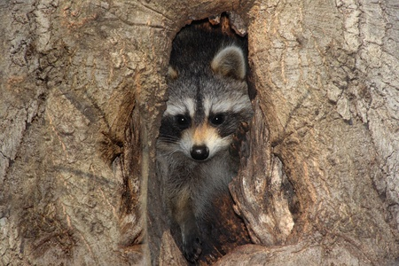 procyon: Baby Raccoon (Procyon lotor) peeking out of a hole in a tree