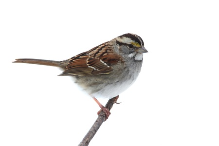 White-throated Sparrow (Zonotrichia albicollis) on a branch. Isolated on a white background Banco de Imagens