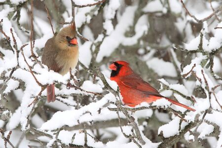 cardinal bird: Pair of Northern Cardinal (cardinalis cardinalis) in a tree in a snow storm