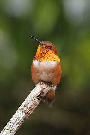 rufous: Rufous Hummingbird (Selasphorus rufus) on a perch