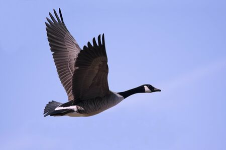 flying geese: Canada Goose (Branta canadensis) in flight with a blue sky background Stock Photo