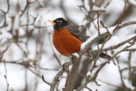 Robin: American Robin (Turdus migratorius) in a tree with snow
