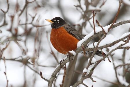 Amerikaanse Robin (Turdus migratorius) in een boom met sneeuw Stockfoto