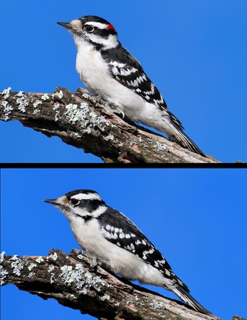 Comparison between Male (top) and Female (bottom) Downy Woodpeckers (picoides pubescens). Male has a red nape and is darker overall.