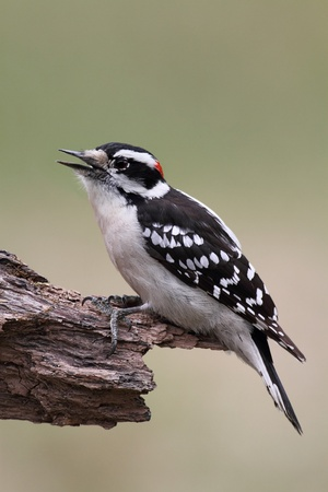 downy woodpecker: Male Downy Woodpecker (picoides pubescens) on a tree with a green background and space for title