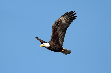 eagle flying: Adult Bald Eagle (haliaeetus leucocephalus) in flight against a blue sky Stock Photo