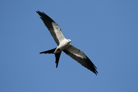 kite flying: Swallow-tailed Kite (Elanoides forficatus) in flight hunting in the Florida Everglades