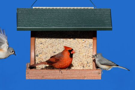 tufted: Northern Cardinal and two Tufted Titmice on a feeder