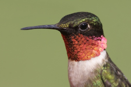 Closeup of a male Ruby-throated Hummingbird (archilochus colubris) perched with a green background