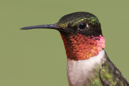 colibries: Detalle de un macho Archilochus colubris (archilochus Gorgirrojo) se alza con un fondo verde