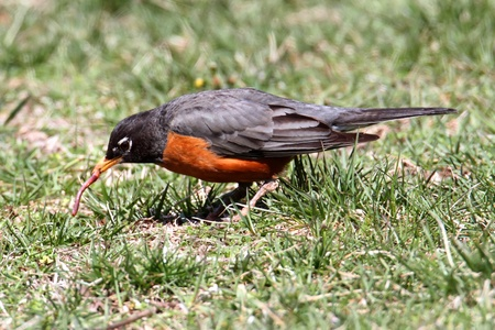 American Robin (Turdus migratorius) on a lawn in spring with a worm Stock Photo - 9174165