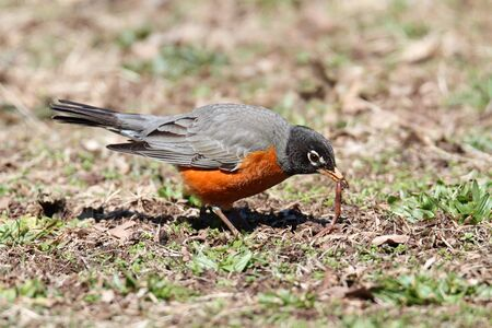 American Robin (Turdus migratorius) on a lawn in spring with a worm Stock fotó