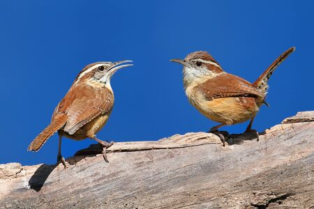 thryothorus: Pair of Carolina Wrens (Thryothorus ludovicianus) on a branch with a blue sky background