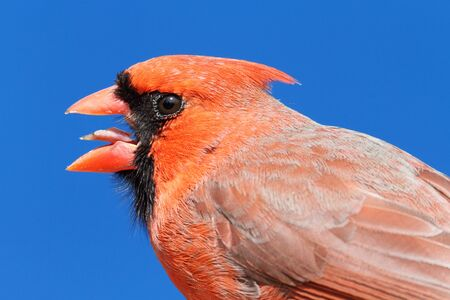 Male Northern Cardinal (cardinalis cardinalis) close up with a blue sky background photo