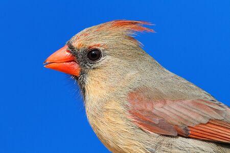 Female Northern Cardinal (cardinalis cardinalis) close up with a blue sky background
