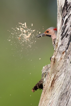 flickr: Northern Flicker (Colaptes auratus) on a tree trunk clearing wood out of a nest hole Stock Photo
