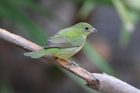 Female Painted Bunting (Passerina ciris) on a branch Stock Photo - 9241856