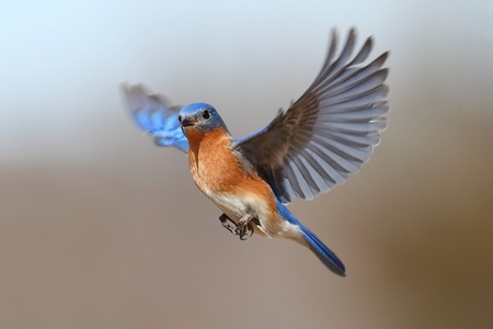 bird flying: Male Eastern Bluebird (Sialia sialis) in flight