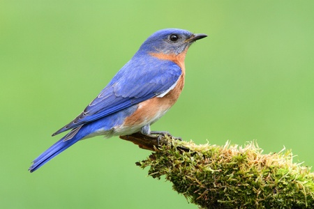 Male Eastern Bluebird (Sialia sialis) on a moss covered perch